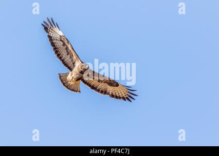 A common buzzard in flight over homburg in saarland - Stock Photo