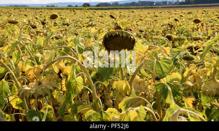 big field of ripe sunflowers in august, ripe helianthus annuus with yellow withered leaves just before the harvest - Stock Photo