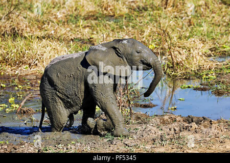 young Elephant in the mud at South Luangwa National Park, Zamb - Stock Photo