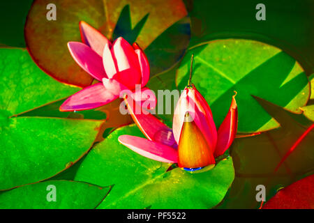 Beautiful water lily in a pond with dragon fly sitting on the blossom.