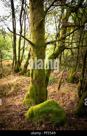 with moss covered tree on the plateau of the high-moor High Fens in the east of Belgium.  mit Moos bedeckter Baum auf dem Plateau des Hochmoors Hohes  - Stock Photo