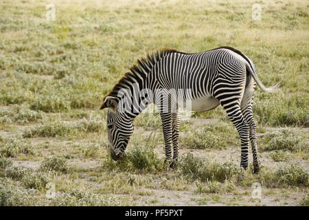 Grevy's zebra grazing, Buffalo Springs/Samburu Game Reserve, Kenya - Stock Photo