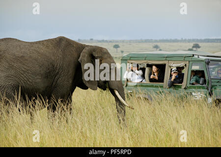 Tourists in safari vehicle photographing elephant up close, Masai Mara Game Reserve, Kenya - Stock Photo