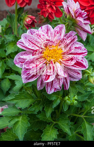 Dahlia / Dahlietta Surprise Coby. Small dahlia white with pink splashed petals. ideal for pots tubs and borders. - Stock Photo