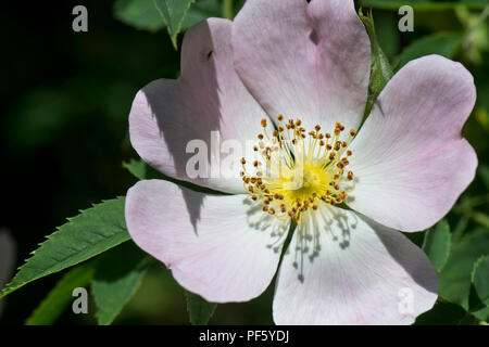 Dog rose, Rosa canina, blush pink flower on hedgerow climbing plant in early summer, Berkshire, June - Stock Photo