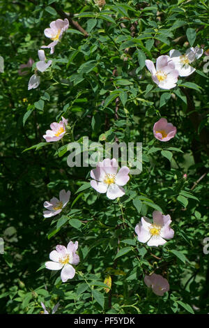 Dog rose, Rosa canina, blush pink flowers on hedgerow climbing plant in early summer, Berkshire, June - Stock Photo