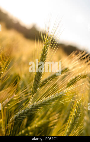 Detail of wheat ears on ripening wheat field in early summer. - Stock Photo