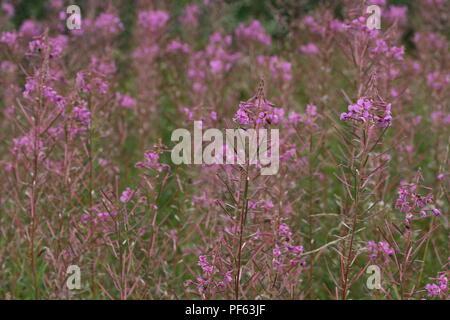 Rosebay Willowherb (Chamaenerion angustifolium) - Stock Photo