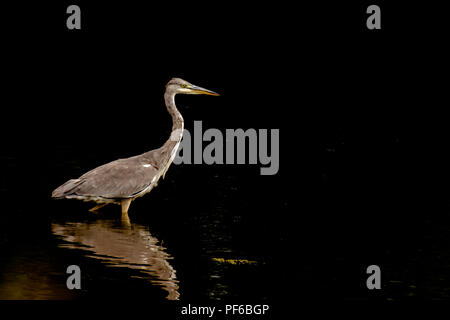 Grey heron (Ardea cinerea) standing on lake shallows.Dark background and bird reflection in water surface.Wildlife Uk.Large bird in wild. - Stock Photo