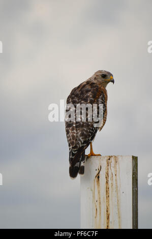 Red Shouldered Hawk Sits On Staff Gauge Looking At Camera, Watching With Clouds In Background - Stock Photo