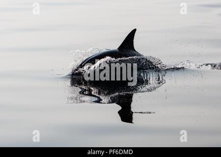 A quick and agile Short-Beaked Common dolphin, Delphinus delphis, swims in the north Atlantic Ocean off Cape Cod, Massachusetts. - Stock Photo