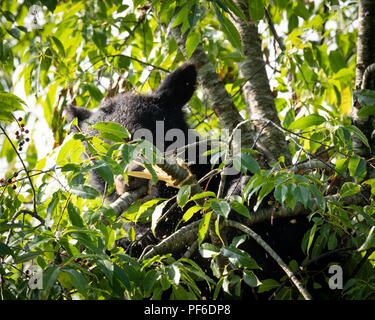 Black Bear in Cherry Tree late Summer. Great Smoky Mountain Black Bear. Tennessee Black Bear about 60 feet up in a tree getting ready for winter. - Stock Photo