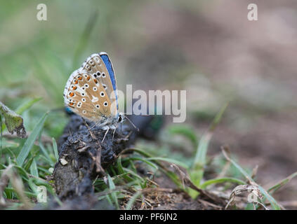 Adonis blue butterfly (Lysandra bellargus) underside of adult male extracting minerals from fox pooh. - Stock Photo