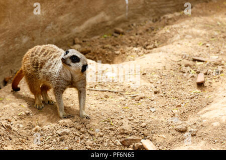 Meerkat standing in the sand and looking to the side - Stock Photo