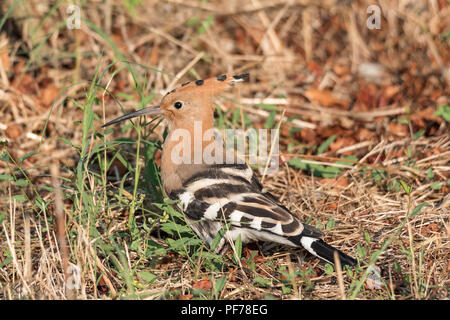 Eurasian hoopoe, portrait of brown-orange bird posed in the grass of a meadow. Horizontal image (upupa) - Stock Photo