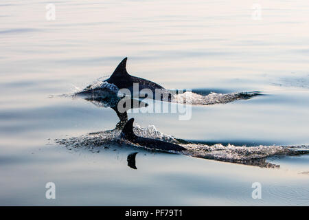 A pair of quick and agile Short-Beaked Common dolphins, Delphinus delphis, swim in the north Atlantic Ocean off Cape Cod, Massachusetts. - Stock Photo