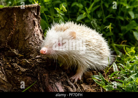 Hedgehog, rare, wild, native, European albino hedgehog in natural habitat, foraging in a garden. Scientific name: Erinaceus europaeus. Horizontal. - Stock Photo