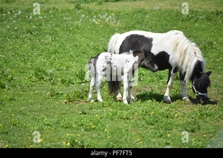 Black and white mini horse mare and colt standing in a grass pasture. - Stock Photo