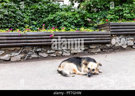 Homeless, sad, abandoned stray dog mutt lying down on sidewalk pavement sleeping begging for food in Rivne, Ukraine street - Stock Photo