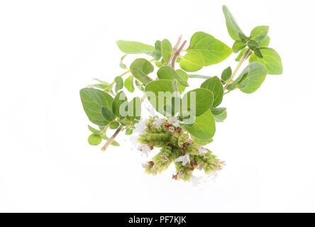 Fresh oregano isolated on a white background - Stock Photo