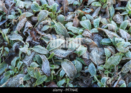 Floral background, frost on hairy blue-green plant leaves - Stock Photo