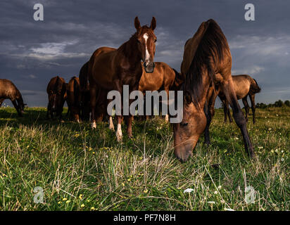 Young Colts enjoy the evening sun in their London Ontario pasture. - Stock Photo