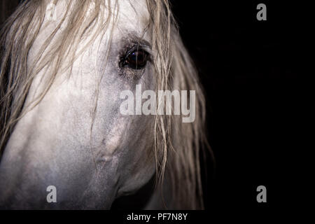 the calm eyes of an older Andalusian Stallion - Stock Photo