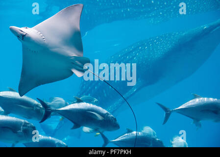 Spotted eagle ray and massive whale shark at the Georgia Aquarium in downtown Atlanta, Georgia. (USA) - Stock Photo