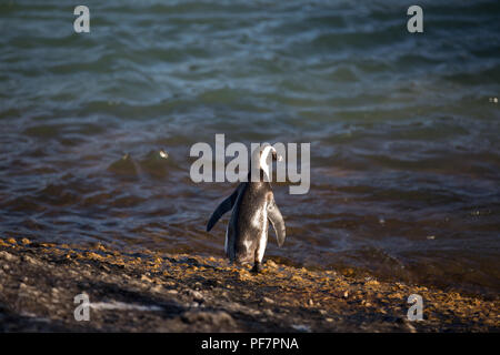 african penguins walking over the beach in the ocean to swim with there family - Stock Photo
