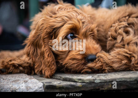 A young red cockapoo puppy lying relaxing on paving in the garden on a sunny day with a watching eye of activities nearby - Stock Photo