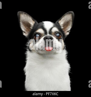 Funny Portrait of Smiling Chihuahua Dog Looking in Camera and showing tongue on Isolated Black Background - Stock Photo
