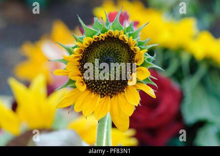 sunflower in a garden against blurred background - Stock Photo