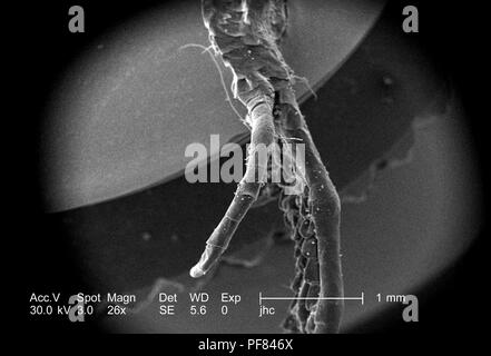 Morphologic features of a deceased lizard's foot found in Decatur, Georgia, revealed in the 26x magnified scanning electron microscopic (SEM) image, 2006. Image courtesy Centers for Disease Control (CDC) / William L. Nicholson, Ph.D. Cal Welbourn, Ph.D. Gary R. Mullen. () - Stock Photo