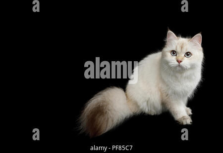 Furry British Cat, Color-point fur, Sitting and Looking up on Isolated Black Background - Stock Photo