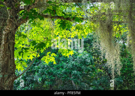 New spring growth and Spanish moss on a North Florida Tree. - Stock Photo
