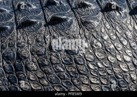 Huge alligator in a state park in Florida - Stock Photo