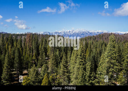 Pine tree forest stretches into the distance with snow-covered mountains beyond. - Stock Photo