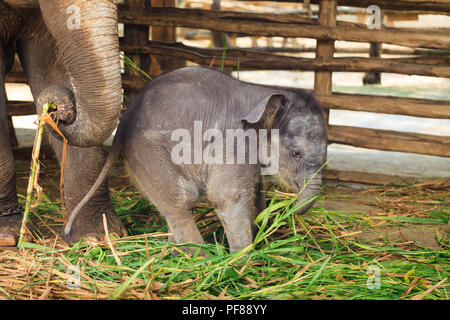 Baby elephant side by side with its mother - Stock Photo