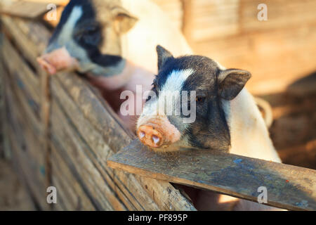 Pig in the farm - Stock Photo