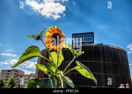 Berlin, Mitte.Niemandsland Garten, No Mans Land Garden. Sunflower plant in Church Community garden project behind Chapel of Reconciliation - Stock Photo