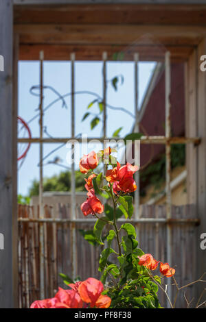 flowering orange bougainvillea plants Photographed in Neve Tzedek, Tel Aviv, Israel in May - Stock Photo