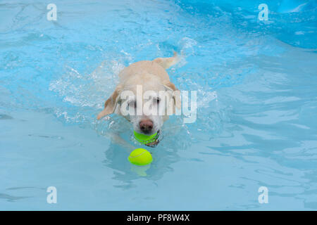 Golden labrador retriever mixed breed dog with tennis ball in mouth swimming to retrieve a second ball - Stock Photo