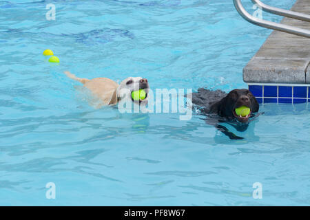 White golden labrador retriever crossbreed and black labrador retriever swimming with tennis balls in mouth in swimming pool - Stock Photo