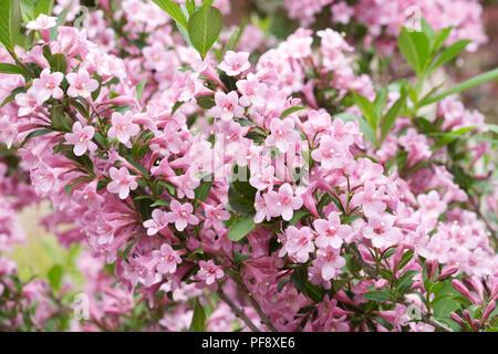 Weigela 'Light Pink' flowers. - Stock Photo