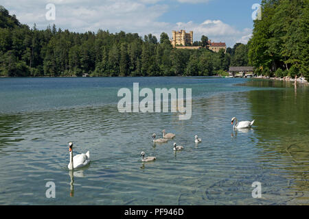 a family of swans on Alpsee (Lake Alp) with Hohenschwangau Castle in the background, Hohenschwangau, Allgaeu, Bavaria, Germany - Stock Photo