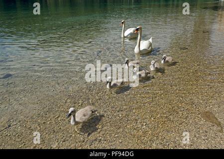 family of swans, Alpsee (Lake Alp), Hohenschwangau, Allgaeu, Bavaria, Germany - Stock Photo