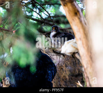 Black fled sitting on a low branch of undergrowth - Stock Photo