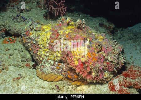 Reef stonefish or real stonefish (Synanceia verrucosa), the world's most venomous fish, Lombok island, Indonesia - Stock Photo