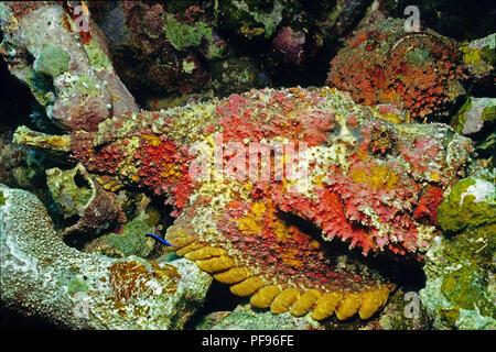 Reef stonefish or real stonefish (Synanceia verrucosa), the world's most venomous fish, Ari Atoll, Maledive islands - Stock Photo