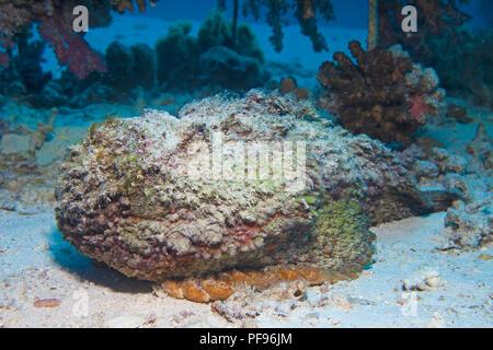 Reef stonefish or real stonefish (Synanceia verrucosa), the world's most venomous fish, Sinai, Egypt - Stock Photo